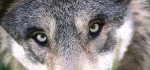 Wolfsaugen