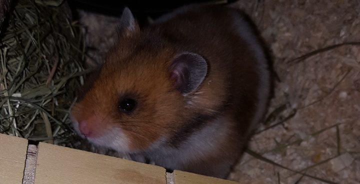 Hamster im Streu