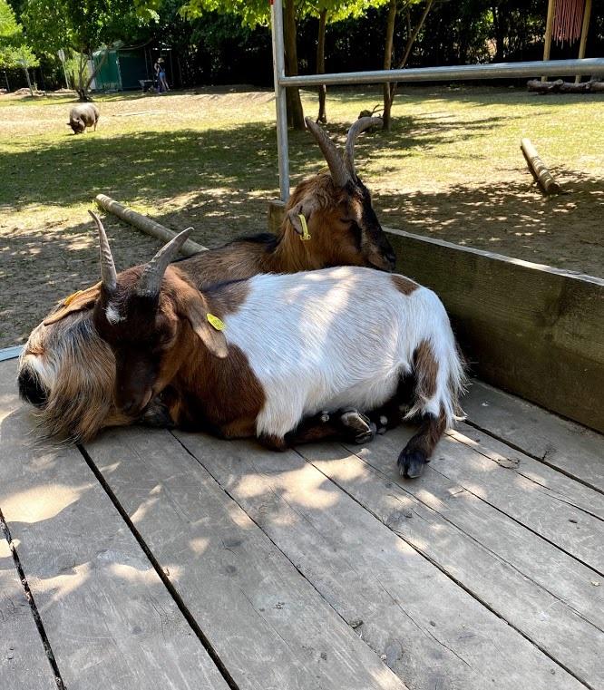 Zwei Ziegen am kuscheln