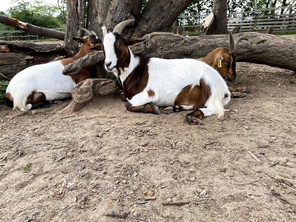 3 Ziegen unterm Baum