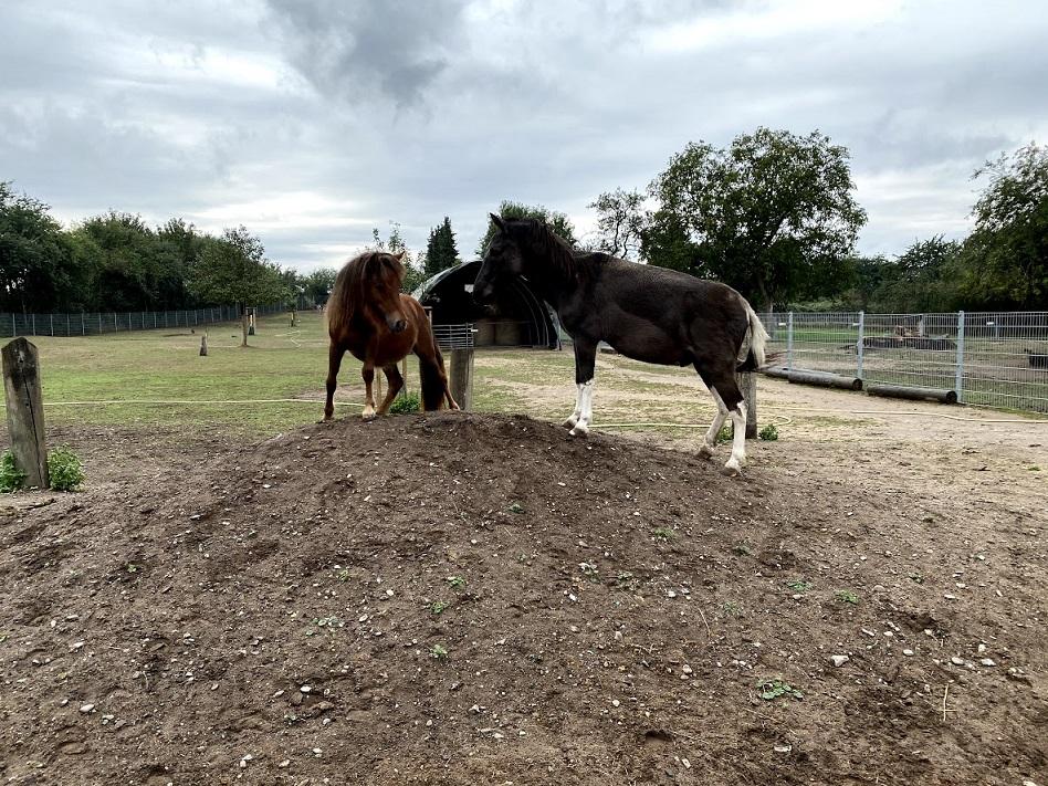Ein Pferd und ein Maultier