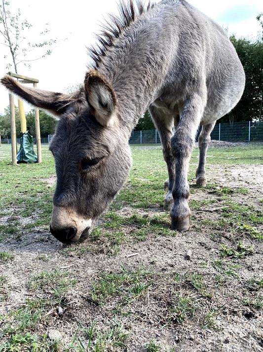 Ein Esel am grasen