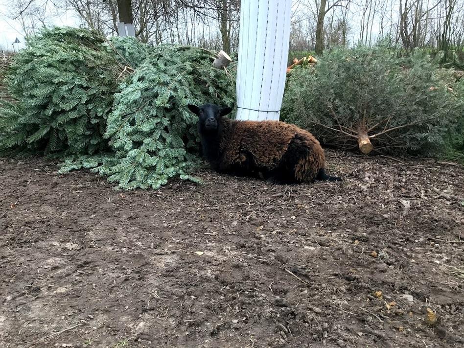 Schaf vor Tannenbaum