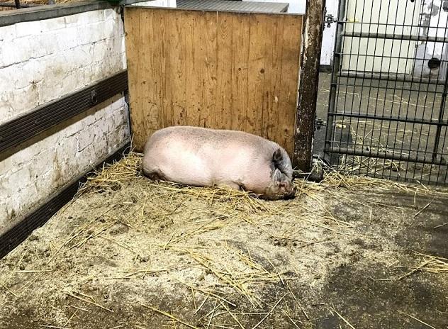Schwein im Streu
