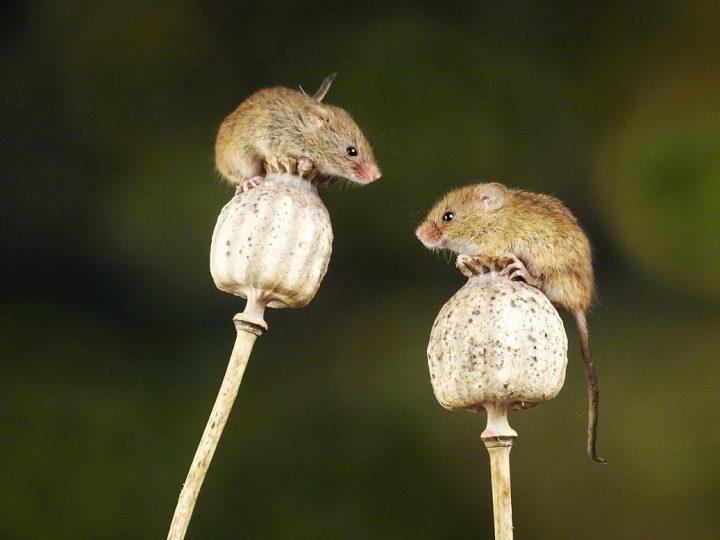 Zwei Mäuse auf Pilzen